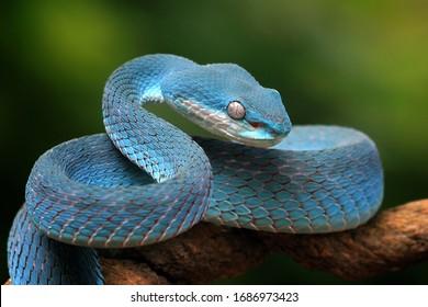 Blue viper snake on branch, blue insularis, Trimeresurus Insularis