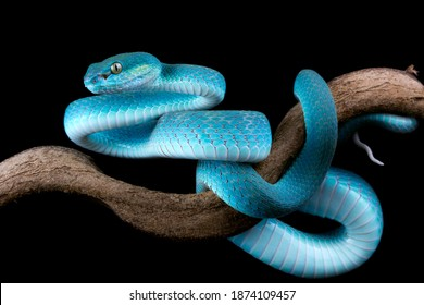 Blue viper snake side view on branch with black background, viper snake, blue insularis, Trimeresurus Insularis