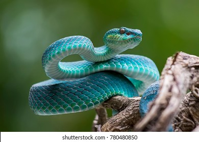 blue viper, venomous and poisonous snake
