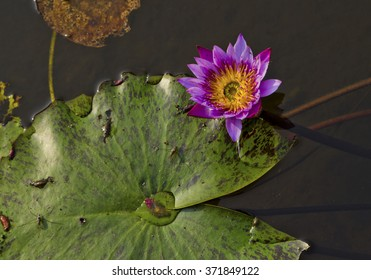 Blue water lily with green leaf