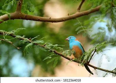 Blue Waxbill, Uraeginthus angolensis, bright blue african passerine bird, perched on branch. Wildlife of Victoria Falls area, Zimbabwe.