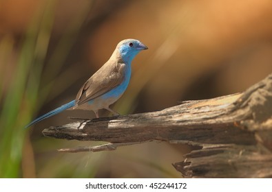 Blue Waxbill, Uraeginthus angolensis, colorful,bright blue  small african bird, perched on old branch against orange, sunny, blurred  background. Victoria Falls area, Zimbabwe.