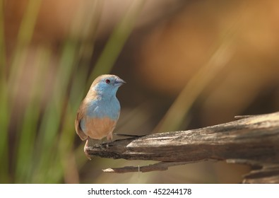 Blue Waxbill,Uraeginthus angolensis, colorful, small african bird, perched on old branch against blurred sunny background. Victoria Falls area, Zimbabwe.