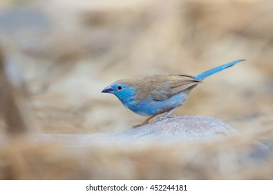 Blue Waxbill,Uraeginthus angolensis, colorful, small blue-masked african bird, perched on rock against blurred  sandy background. Victoria Falls area, Zimbabwe.