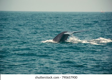 Blue whale tail diving deep, indian ocean. Wildlife nature background. Tourist impression. Adventure travel, tourism industry. Mirissa, Sri Lanka. Protection concept. Explore world. Space for text