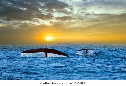 blue Whale Watching tail splash drop fall water Mirissa wildlife Sri Lanka. beautiful panorama landscape sun sunrise. sun rays shine indian ocean. panoramic view humpback whale family marine life