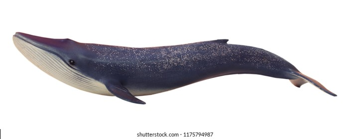 Blue whale. White isolate.
