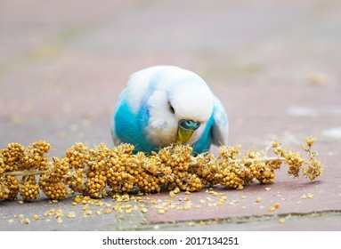 Blue and white budgie nibbling on a millet cob. Close up of a bird while eating