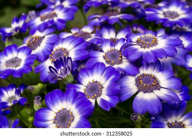 Blue and white cineraria flowers