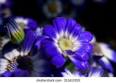 Blue and white cineraria flowers after rain