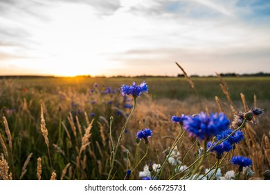 Blue and white cornflowers with bokeh, floral nature background.  Warm, atmospheric sultry summer evening with backlight in the country side of the Netherlands