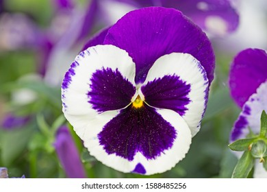 Blue With White Flower Pansies closeup. Closeup of colorful pansy flower, The garden pansy is a type of large-flowered hybrid plant cultivated as a garden flower.