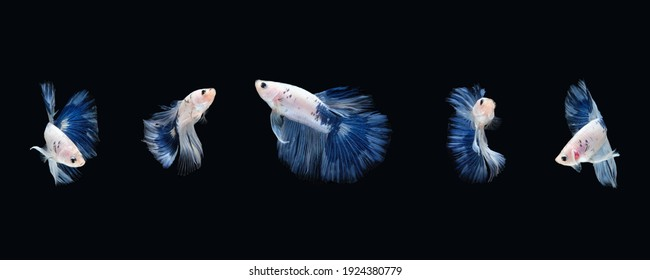 Blue White halfmoon betta fish siamese (Blue rim panda dalmatian type) isolated on black color background