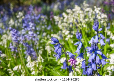 Blue and white hyacinth flowers on a bokeh light background in spring at Mount Tomah Botanic Garden, Blue Mountains, Australia.