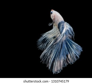 Blue white Siamese fighting fish, Betta fish is floating in motion. betta splendens, Thailand betta isolated on black background.