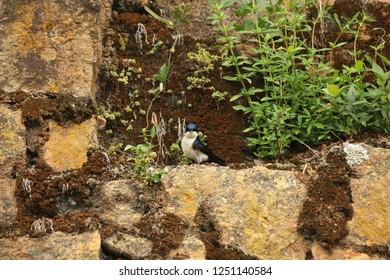 Blue and white swallow on the rocks, Ilhabela, Brazil.