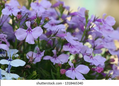 Blue and white Trailing Lobelia Sapphire flowers, its Latin name is Lobelia Erinus Sapphire. Also called Edging Lobelia, Garden Lobelia, Alpine herbs of Switzerland