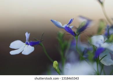 Blue And White Lobelia Images Stock Photos Vectors Shutterstock