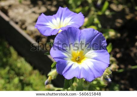 Blue white yellow dwarf morning glory stock photo edit now blue white and yellow dwarf morning glory flower or bush morning glory mightylinksfo