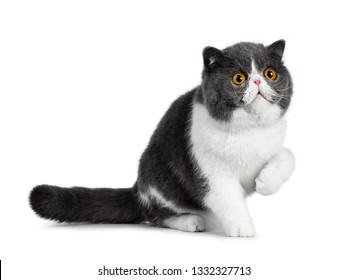 Blue with white young Exotic Shorthair cat, sitting side ways. Looking up with amazing round orange eyes. Isolated on white background. One paw in air. Surprised mouth open.