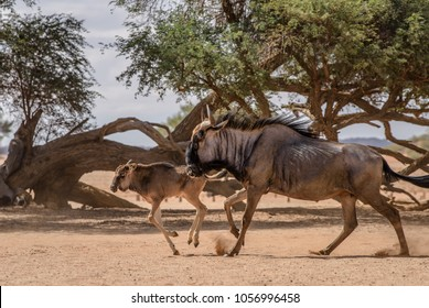 Blue Wildebeest adult and wildebeest baby in Namib desert in Sesriem, Namibia. Safari animals, game drive in Africa. Travel journey in South Africa, Botswana and Namibia.