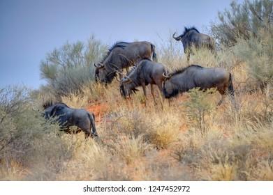 BLUE WILDEBEEST, aka brindled Gnu (Connochaetes taurinus)  grazing dune slopes in the Kalahari desert