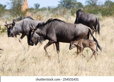 Blue Wildebeest with calf in Etosha National Park, Namibia.