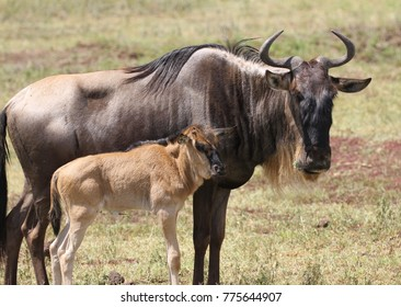 Blue Wildebeest and calf, Ngorongoro, Crater, Tanzania