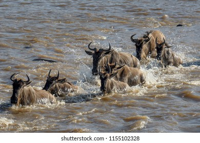 Blue wildebeest also called the common wildebeest, white-bearded wildebeest or brindled gnu (Connochaetes taurinus) crossing the Mara River. Serengeti National Park. Tanzania