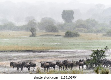 Blue wildebeest also called the common wildebeest, white-bearded wildebeest or brindled gnu (Connochaetes taurinus) in a rain storm. Serengeti National Park. Tanzania