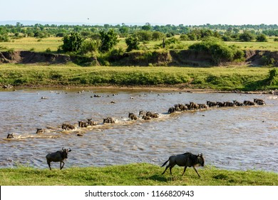 Blue wildebeest also called the common wildebeest, white-bearded wildebeest or brindled gnu (Connochaetes taurinus) crossing the Mara River. Tanzania