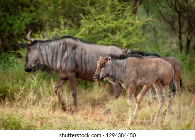 Blue wildebeest (Connochaetes taurinus), aka common wildebeest, white-bearded wildebeest, or brindled gnu juvenile. North West Province. South Africa