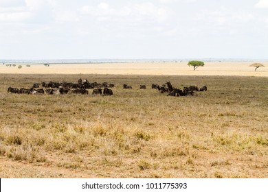 The blue wildebeest (Connochaetes taurinus), also called the common wildebeest, white-bearded wildebeest or brindled gnu, in the Serengeti National Park, Tanzania
