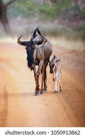 The blue wildebeest (Connochaetes taurinus), also called the common wildebeest, white-bearded wildebeest or brindled gnu.Female with the baby on the road.