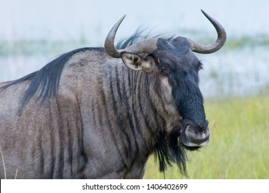 Blue wildebeest (Connochaetes taurinus), also called the common wildebeest, white-bearded wildebeest, or brindled gnu, is a large antelope and one of the two species of wildebeests.