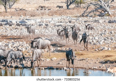 Blue wildebeest, Connochaetes taurinus, also called a white-bearded wildebeest or brindled gnu, drinking water at a waterhole in Northern Namibia