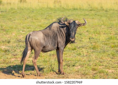 Blue wildebeest (Connochaetes taurinus) looking into the camera in grassland, Pilanesberg National Park, South Africa.