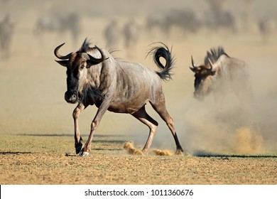 A blue wildebeest (Connochaetes taurinus) running in dust, Kalahari desert, South Africa