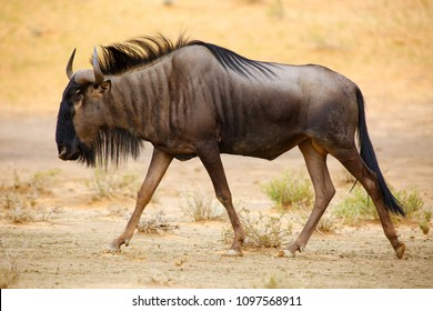 The blue wildebeest (Connochaetes taurinus) is walking in the dried riverbed in the desert. Gnu in the kalahari desert.