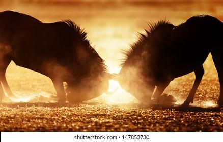 Blue wildebeest dual in dust - Kalahari desert - South Africa