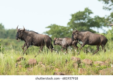 Blue wildebeest family running together through grass and rocks