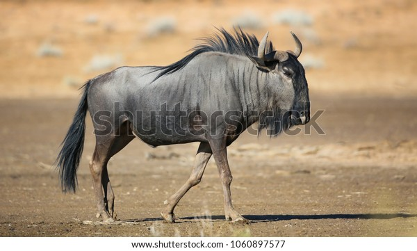 Blue wildebeest  full length horizontal colour image in the Kgalagadi.