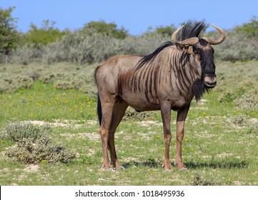 Blue Wildebeest / Gnu