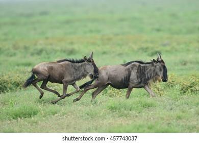 Blue wildebeest (Gnu or Connochaetes taurinus) in the Serengeti national park