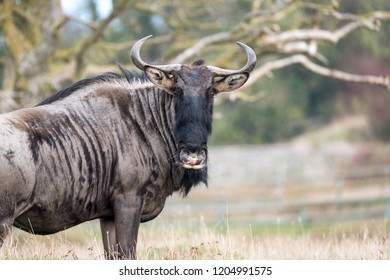 Blue wildebeest in grassland looking to camera. Photographed at Port Lympne Safari Park near Ashford Kent UK.