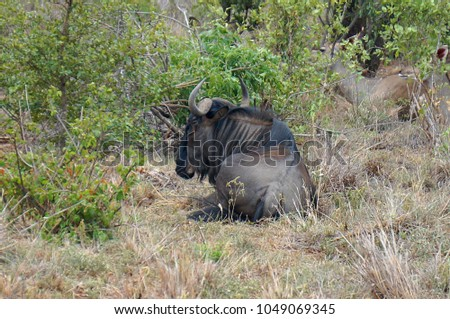 Blue Wildebeest at Kruger National Park in South Africa