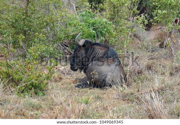 Blue Wildebeest at Kruger National Park in South Africa