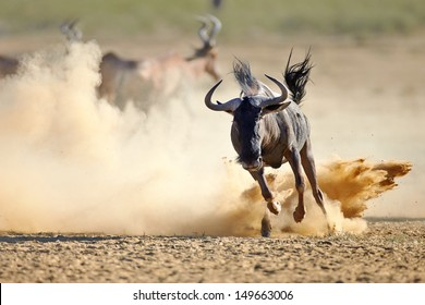 Blue wildebeest running on dusty plains (  Taurinus; connochaetes ) - Kalahari desert - South Africa