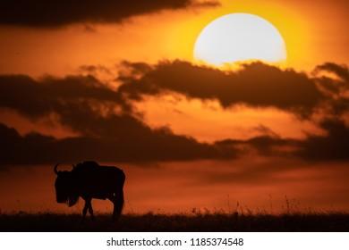 Blue wildebeest in silhouette against setting sun