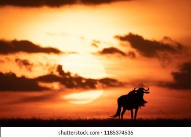 Blue wildebeest silhouetted against orange setting sun